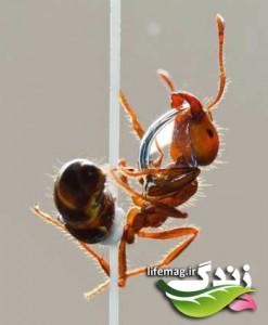 روغن مورچه و فواید آن !