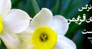 white-and-yellow-narcissus